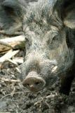 Everzwijn (scrofa Sus) Royalty-vrije Stock Foto's
