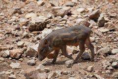 Everzwijn, Wild varken op gebied Stock Foto's