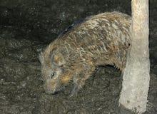 Everzwijnbiggetje die voedsel in de modder zoeken Stock Afbeelding