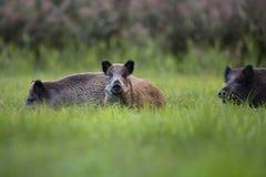 Everzwijnen in een opheldering royalty-vrije stock foto