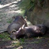 Everzwijnen (scrofa Sus) in gevangenschap stock foto