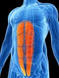 Evidenziato - muscolo dell'ABS Fotografie Stock