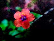 Evig blomma Royaltyfri Fotografi