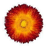 evig blomma isolerad white för orange red Royaltyfria Foton
