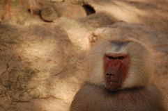 Evil baboon in zoo Royalty Free Stock Photo
