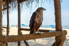 Evil beautiful majestic eagle on a background of the beach. Under blue sky royalty free stock photos