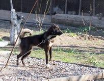Evil black dog Royalty Free Stock Image