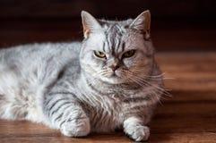 Evil british cat lying. On the wooden floor Stock Image