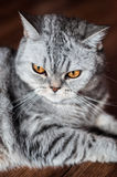 Evil british cat lying. On the wooden floor Royalty Free Stock Image