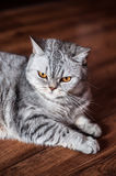 Evil british cat lying. On the wooden floor Stock Photo