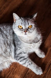 Evil british cat lying. On the wooden floor Royalty Free Stock Photo