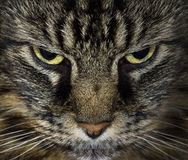 Evil Cat. Close up of evil looking cat stock image