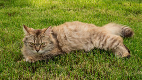 Evil cat. Evil but funny the cat is on the lawn. Wariness and irritation Stock Images