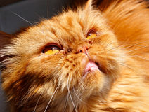 Evil cat red persian Royalty Free Stock Images