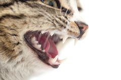 Evil cat teeth on a white background. macro.  stock image