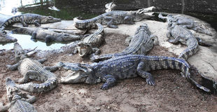 Evil crocodiles at the farm Royalty Free Stock Photography