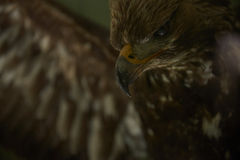 Evil eagle. Close-up of an eagle's head. Looking scary Royalty Free Stock Photography