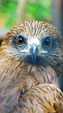 The evil eye. Awesome eagle. Close up stock image