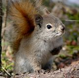 Evil Eye Squirrel royalty free stock photos