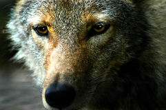 Evil Eyes. Close up of wolves face shows the amber glow of its eyes.  Dark background Stock Image