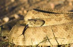 Evil eyes. Diamondback Rattlesnake with a menacing look royalty free stock images