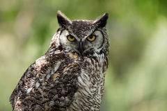 Evil Eyes. Closeup of a Great Horned Owl with a grumpy expression Stock Photos