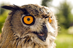Evil eyes owl bubo bubo Stock Images