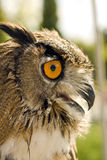 Evil eyes owl bubo bubo Royalty Free Stock Photography