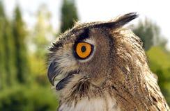Evil eyes owl bubo bubo Stock Image