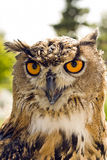 Evil eyes owl bubo bubo Royalty Free Stock Images