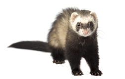 The evil ferret isolated Stock Photos