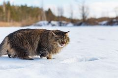 Evil fluffy cat in winter snow licking stock image