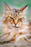 Evil look old male Maine Coon Stock Images