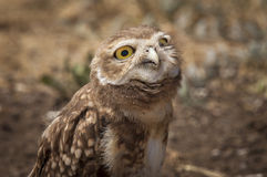 Evil looking Burrowing Owl (Athene cunicularia) Royalty Free Stock Photo