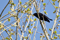 Evil Looking Common Grackle Perched in a Tree Royalty Free Stock Images