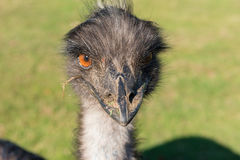 An Evil Looking Ostrich. Close-up shot of the face of an ostrich Royalty Free Stock Image
