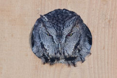 Evil Looking Western Screech-Owl Peering Out From a Nesting Box Stock Photography