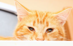 Evil red cat Royalty Free Stock Photos