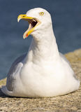 Evil seagull! Stock Photo