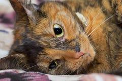 Evil tortoiseshell cat Stock Photos