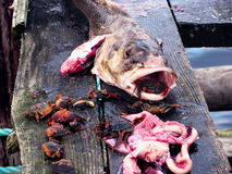 Evisceration of fish caught in Norway Royalty Free Stock Image
