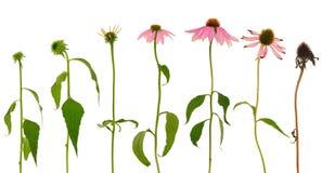 Evolución de la flor del purpurea del Echinacea aislada Imagenes de archivo