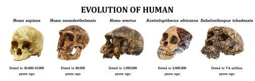 Evolutie van menselijke tchadensis van schedelsahelanthropus Australopitecusafricanus Homo erectus Homoneanderthalensis Homo sa stock foto