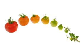 Evolutie van rode tomaat die op wit wordt geïsoleerde Stock Fotografie