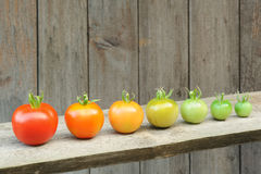 Evolutie van rode tomaat - rijpend proces van het fruit stock afbeelding