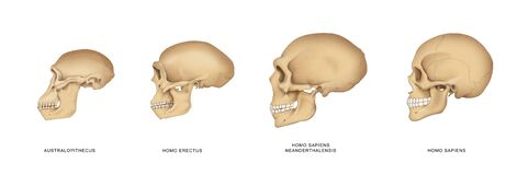Free Evolution And Development Of The Human Skull Stock Images - 191529074