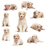 Evolution of an Australian shepherd puppy, 1 days to 2 months old. Against white background royalty free stock photography