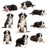 Evolution of an Australian shepherd puppy, 1 days to 2 months old. Against white background stock photos