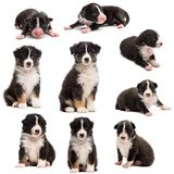 Evolution of an Australian shepherd puppy, 1 days to 2 months old. Against white background stock image