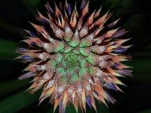 Evolution av ananas Arkivbild